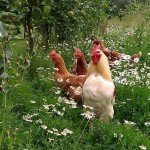 Brambletye: Happy chooks in the orchards